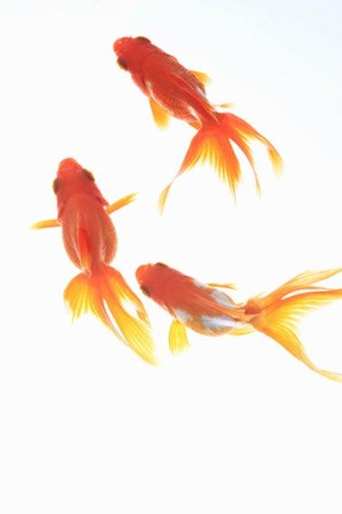 $日本のもの、こと  桃兎の部屋-金魚