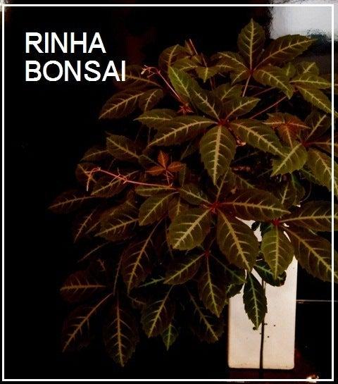 bonsai life      -盆栽のある暮らし- 東京の盆栽教室 琳葉(りんは)盆栽 RINHA BONSAI-アメリカツタ モダン 琳葉盆栽
