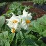 ジャガイモ花盛り