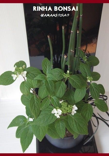 bonsai life      -盆栽のある暮らし- 東京の盆栽教室 琳葉(りんは)盆栽 RINHA BONSAI-琳葉盆栽 アジサイ モダン