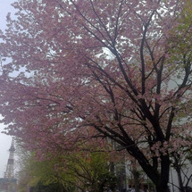 桜の落ちるスピード知…