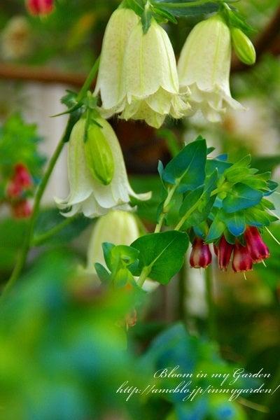 ホタルブクロ開花