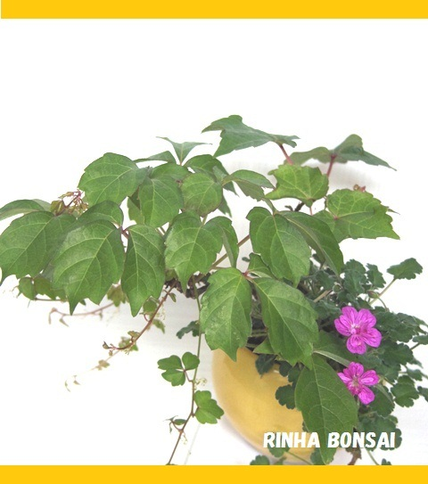 bonsai life      -盆栽のある暮らし- 東京の盆栽教室 琳葉(りんは)盆栽 RINHA BONSAI-琳葉盆栽 ナツヅタ 姫フウロ モダン