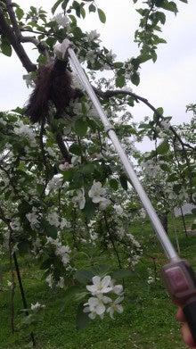 木のみ樹のままりんご作り