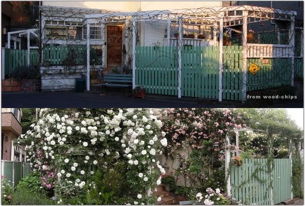 バラの庭・アトリエ・小さな雑貨・ウッドチップスの裏庭ブログ【 wood-chips 】-アイスバーグコーネリア壁面誘引剪定バラの庭ブログ