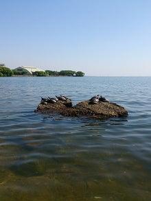 原付琵琶湖黒鱸釣行(琵琶湖でブラックバス釣り☆でもあんま釣れてないですよ~)-亀の甲羅干し