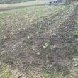 もんじろう畑。