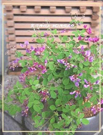 bonsai life      -盆栽のある暮らし- 東京の盆栽教室 琳葉(りんは)盆栽 RINHA BONSAI-ヤクシマハギ モダン 琳葉盆栽