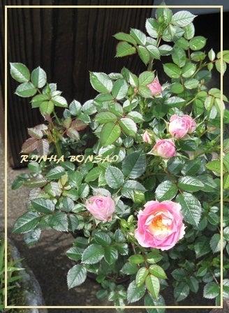 bonsai life      -盆栽のある暮らし- 東京の盆栽教室 琳葉(りんは)盆栽 RINHA BONSAI-琳葉盆栽 バラ モダン