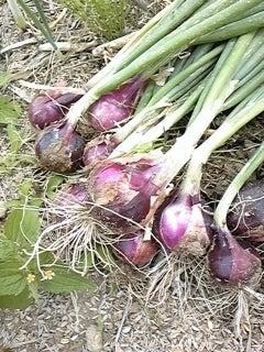 野菜畑で会いましょう-5/27赤玉ねぎさん