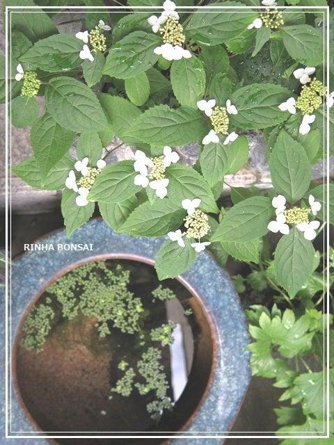 bonsai life      -盆栽のある暮らし- 東京の盆栽教室 琳葉(りんは)盆栽 RINHA BONSAI-琳葉盆栽 モダン ヤマアジサイ