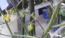 $すすきのBEATの営業雑感 -ミニトマト