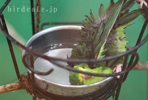 ようこそ!とりみカフェ!!~鳥カフェでの出来事や鳥写真~-サザナミインコの水浴び