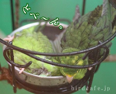ようこそ!とりみカフェ!!~鳥カフェでの出来事や鳥写真~-横倒し水浴び~
