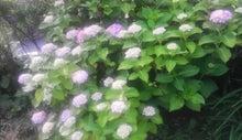 $すすきのBEATの営業雑感 -紫陽花