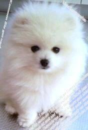 $♥ プリティー ポメラニアン ランド ♥                                       Pretty Pomeranian Land -ホワイトポメラニアン