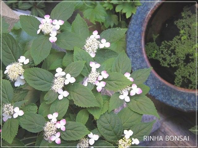 bonsai life      -盆栽のある暮らし- 東京の盆栽教室 琳葉(りんは)盆栽 RINHA BONSAI-ヤマアジサイ 紅 クレナイ 琳葉盆栽