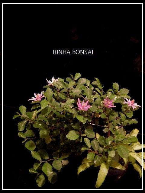 bonsai life      -盆栽のある暮らし- 東京の盆栽教室 琳葉(りんは)盆栽 RINHA BONSAI-琳葉盆栽 スイレンボク モダン
