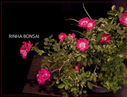 bonsai life      -盆栽のある暮らし- 東京の盆栽教室 琳葉(りんは)盆栽 RINHA BONSAI-琳葉盆栽 モダン ノイバラ