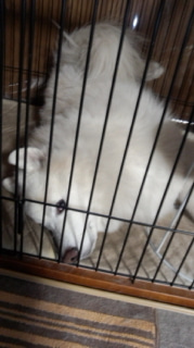 サモエド犬ラッキーのらき日記-130604_214250.jpg