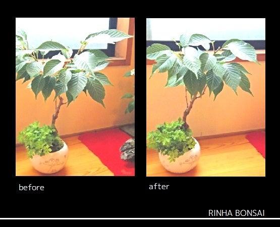 bonsai life      -盆栽のある暮らし- 東京の盆栽教室 琳葉(りんは)盆栽 RINHA BONSAI-琳葉盆栽 モダン 桜