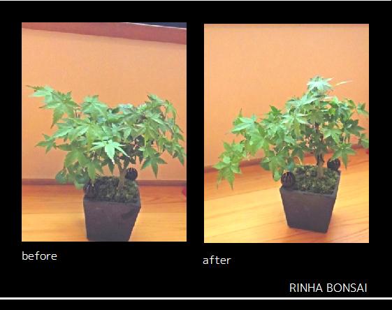 bonsai life      -盆栽のある暮らし- 東京の盆栽教室 琳葉(りんは)盆栽 RINHA BONSAI-琳葉盆栽 モダン モミジ