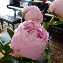 ピンクの芍薬
