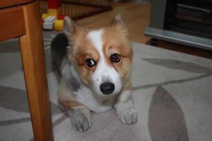短足犬『こたろう』の一週間o(^o^)o