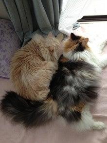 美猫ちゃんブログ-美人ねこ 画像