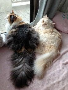 美猫ちゃんブログ-ノルウェージャンフォレストキャット 美猫