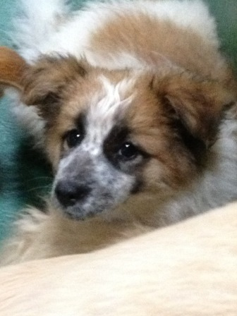 MIX子犬♀茶白
