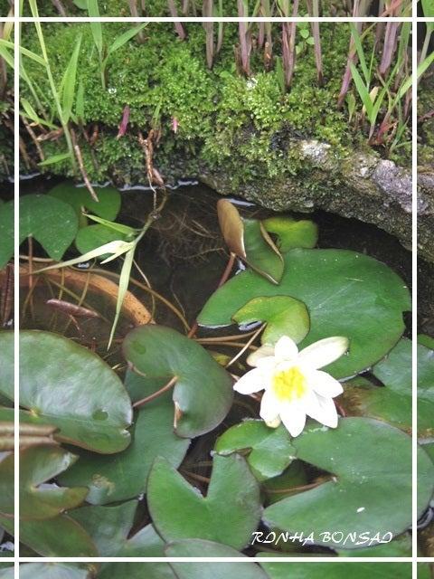 bonsai life      -盆栽のある暮らし- 東京の盆栽教室 琳葉(りんは)盆栽 RINHA BONSAI-姫スイレン 琳葉盆栽