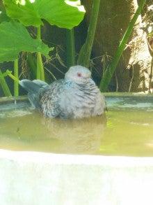 鳩の水浴び