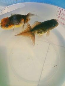 ♪ベランダ金魚♪-しょーと