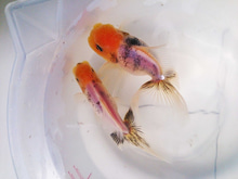 ♪ベランダ金魚♪-東錦1