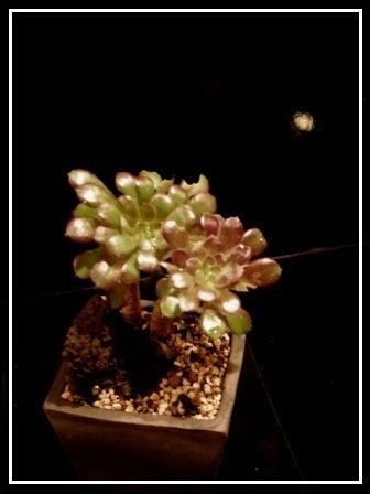 bonsai life      -盆栽のある暮らし- 東京の盆栽教室 琳葉(りんは)盆栽 RINHA BONSAI-琳葉盆栽 クロホウシ①
