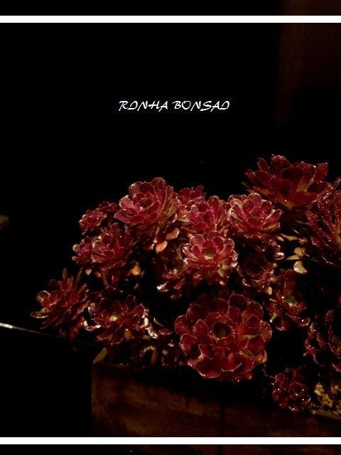 bonsai life      -盆栽のある暮らし- 東京の盆栽教室 琳葉(りんは)盆栽 RINHA BONSAI-琳葉盆栽 クロホウシ③