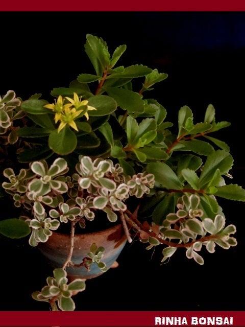 bonsai life      -盆栽のある暮らし- 東京の盆栽教室 琳葉(りんは)盆栽 RINHA BONSAI-キリンソウ 琳葉盆栽 モダン