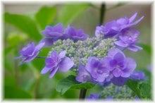 毎日はっぴぃ気分☆-紫の八重