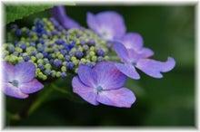毎日はっぴぃ気分☆-愕紫陽花(紫)
