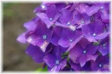 毎日はっぴぃ気分☆-紫陽花