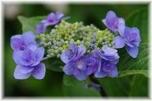 毎日はっぴぃ気分☆-八重紫