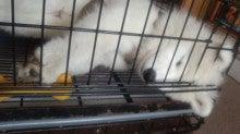 サモエド犬ラッキーのらき日記-130616_142834.jpg