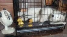 サモエド犬ラッキーのらき日記-130616_142703.jpg