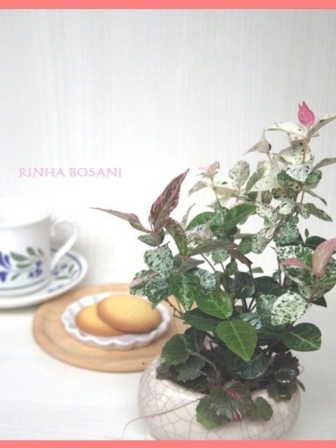 bonsai life      -盆栽のある暮らし- 東京の盆栽教室 琳葉(りんは)盆栽 RINHA BONSAI-琳葉盆栽 ハアツユキカズラ