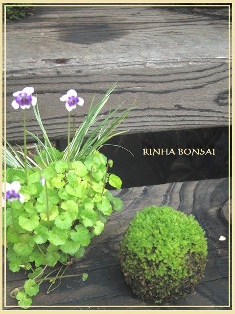 bonsai life      -盆栽のある暮らし- 東京の盆栽教室 琳葉(りんは)盆栽 RINHA BONSAI-琳葉盆栽 苔玉 パンダスミレ