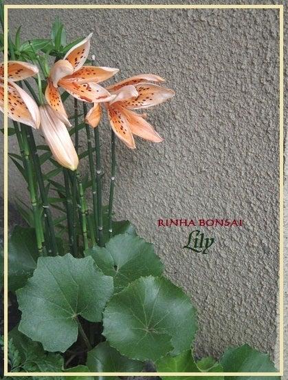 bonsai life      -盆栽のある暮らし- 東京の盆栽教室 琳葉(りんは)盆栽 RINHA BONSAI-琳葉盆栽 ユリ