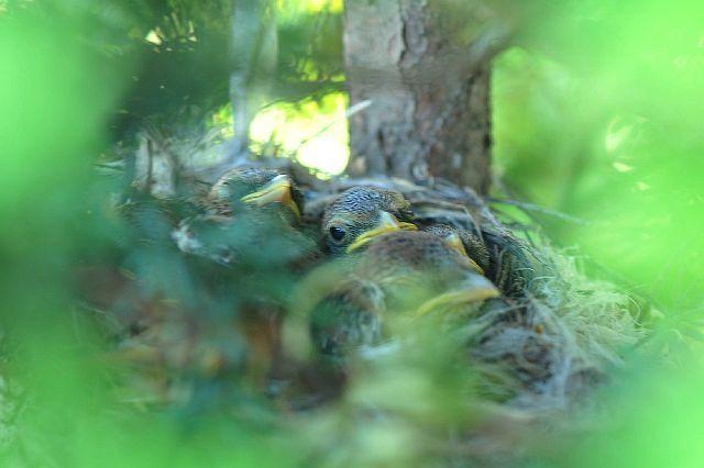 北海道の野生動植物写真-モズ