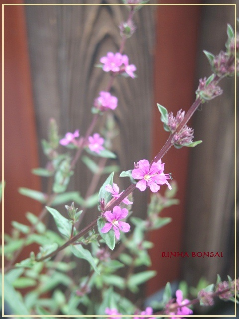 bonsai life      -盆栽のある暮らし- 東京の盆栽教室 琳葉(りんは)盆栽 RINHA BONSAI-琳葉盆栽 ミソハギ