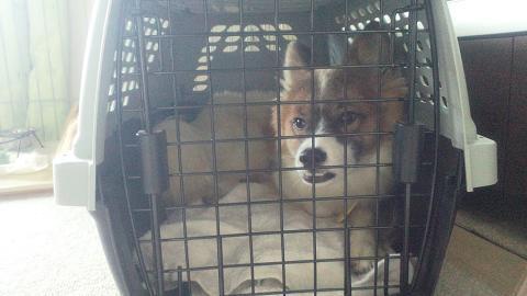 $ココア時々預かり犬